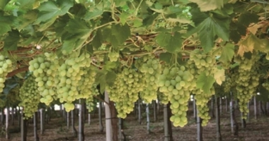 Sicilia, a metà maggio taglio prime uve  Igp di Mazzarrone