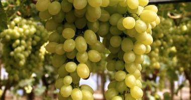 Puglia, uva da tavola in anticipo, ottima per qualità e quantità