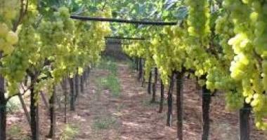Puglia, uva da tavola, marciume ed umidità attaccano il prodotto